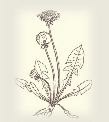 cropped-dandelion1.jpg